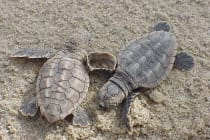 Loggerhead Sea Turtle Hatchlings, Sanibel Island & Captiva Island.