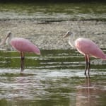 Audubon Climate Report: Big Impact Coming For Sanibel & Captiva's Birds
