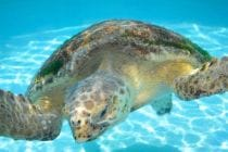 Loggerhead Sea Turtle, Ding Darling Saving Sea Turtles Exhibit