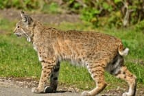 Sanibel, Florida Bobcat, Photo Credit- Linda Tanner