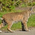 Sanibel Bobcat Tales Presentation @ Sanibel-Captiva Conservation Foundation