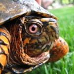 Ranavirus in Florida Box Turtles on Captiva