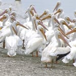 White Pelicans Have Returned To Ding Darling!