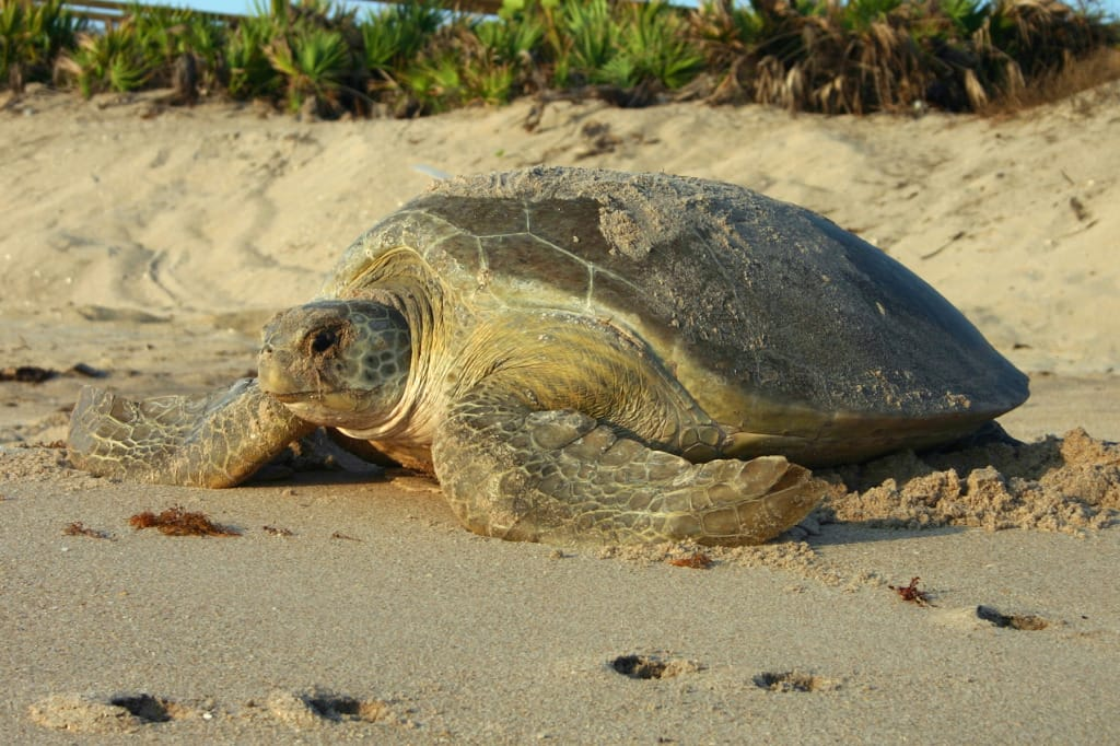 Green Turtle Nesting, Photo Credit - FWC.