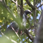 Rare White-Crowned Pigeon