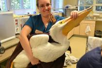 CROW, White Pelican, Red Tide Patient, Brittany Stevens, Photo Courtesy Of CROW.