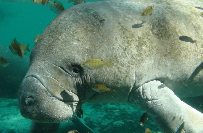 Endangered Florida Manatee By U.S. Fish and Wildlife Service Headquarters, Via Creative Commons.
