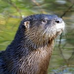 Sanibel River Otter Tales @ SCCF Today @ 10 AM