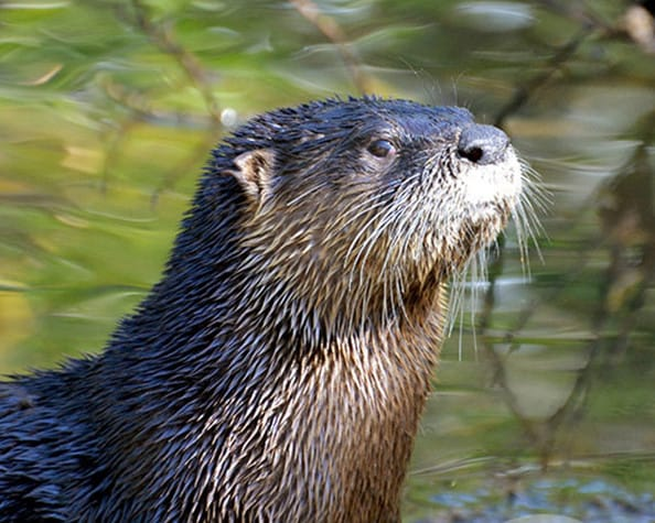 "Third Place Winner - Jason Boeckman, Fort Myers, Florida - River Otter, ""Ding"" Darling Days Amateur Nature Photography Contest."