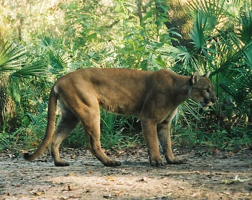 Sanibel, Male Florida Panther, In Refuge, File Photo, Courtesy MyFWCmedia, Via Creative Commons.