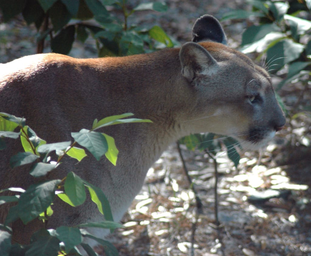 Florida Panther, Courtesy Of FWC, Via Creative Commons.