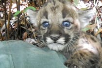 Sanibel, Florida Panther Kitten, Courtesy Of FWC, Via Creative Commons.