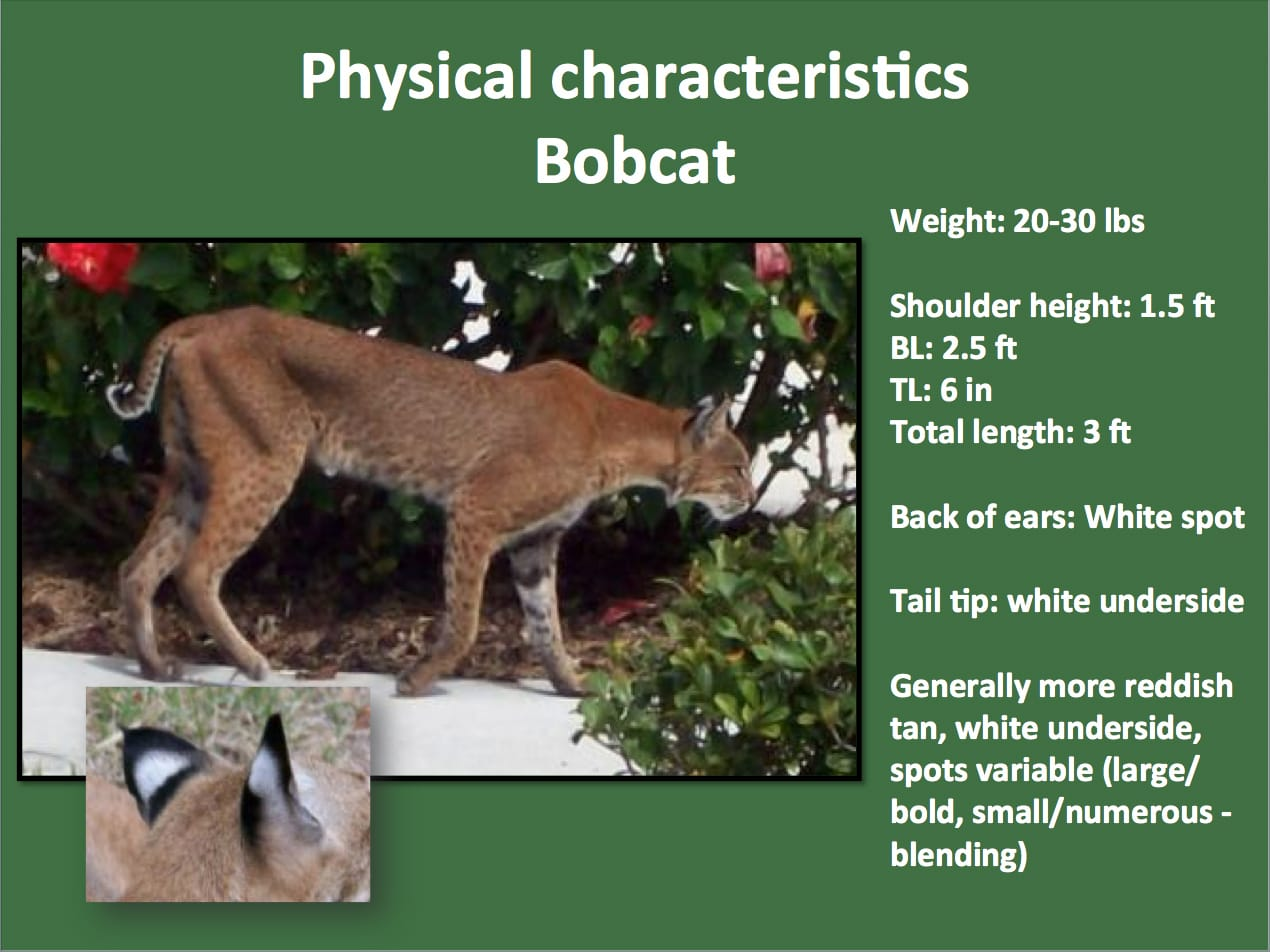 Sanibel, Physical Characteristics Of Florida Bobcat, Courtesy Of FWC, Via Creative Commons.