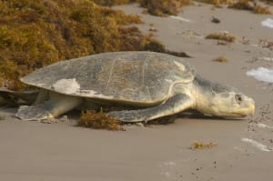 Adult Kemp's Ridley Sea Turtle by Terry Ross, Sanibel Rentals.