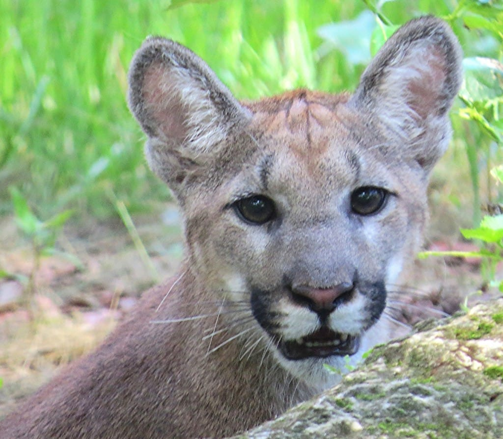 FWC Florida Panther Release, Via Creative Commons.