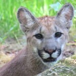Sanibel:  FWC's Florida Panther Program