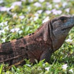 Invasive Exotic Spiny-tailed Iguana Confirmed On Sanibel