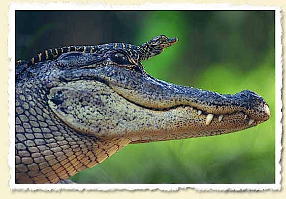 Swamp Dragons, Alligator Baby On Mother Alligator's Head, Photo Courtesy Of John Moran.