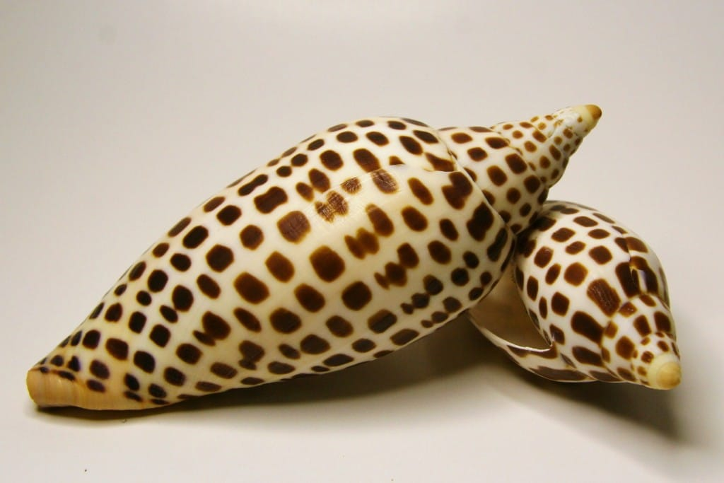 Sanibel & Captiva Shelling, Scaphella Junonia By Tropic~7, Via Creative Commons.