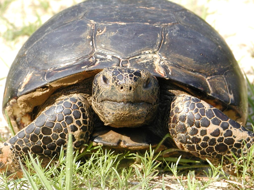 Foraging Gopher Tortoise by U.S. Fish and Wildlife Service Southeast Region, Via Creative Commons.