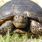 World's Largest Gopher Tortoise On Sanibel?