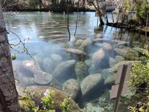 Three Sister Springs Manatee Count. Five years ago, about 65 manatees congregated at the springs at high tide on an average cold winter's day. This winter, the count at times went as high as 528! Courtesy Of FWC.