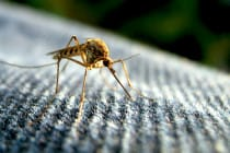 Mosquito, Zika Virus Not Expected To Impact Sanibel, Florida. Photo Credit, TurkleTom Via Creative Commons.