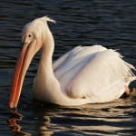 "Rare Great White Pelican Appears In ""Ding"" Darling"