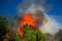 2017 Sanibel Prescribed Burn, Cabbage Palm File Photo. Image Courtesy Of The Sanibel Captiva Conservation Foundation.